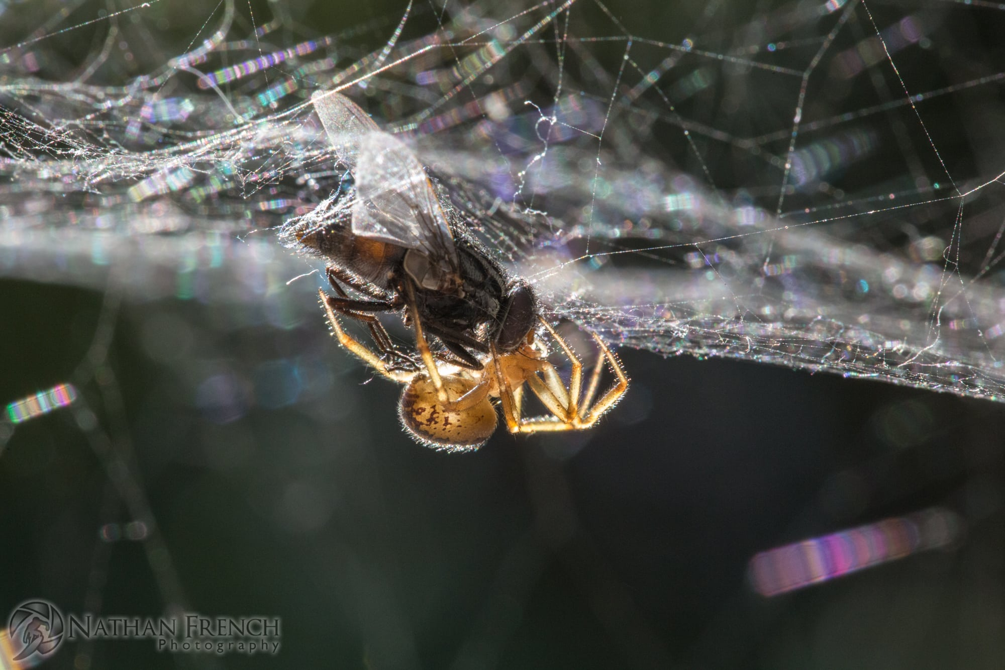 Picture of Steatoda nobilis (Noble False Widow) - Lateral,Webs,Prey