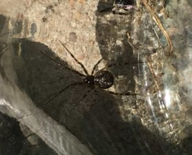 Picture of Parasteatoda spp. - Dorsal