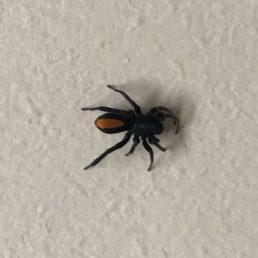 Featured spider picture of Castianeira crocata