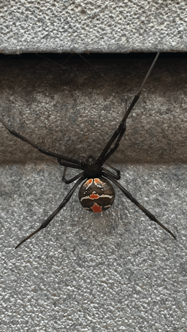 Picture of Latrodectus hasselti (Redback Spider) - Dorsal
