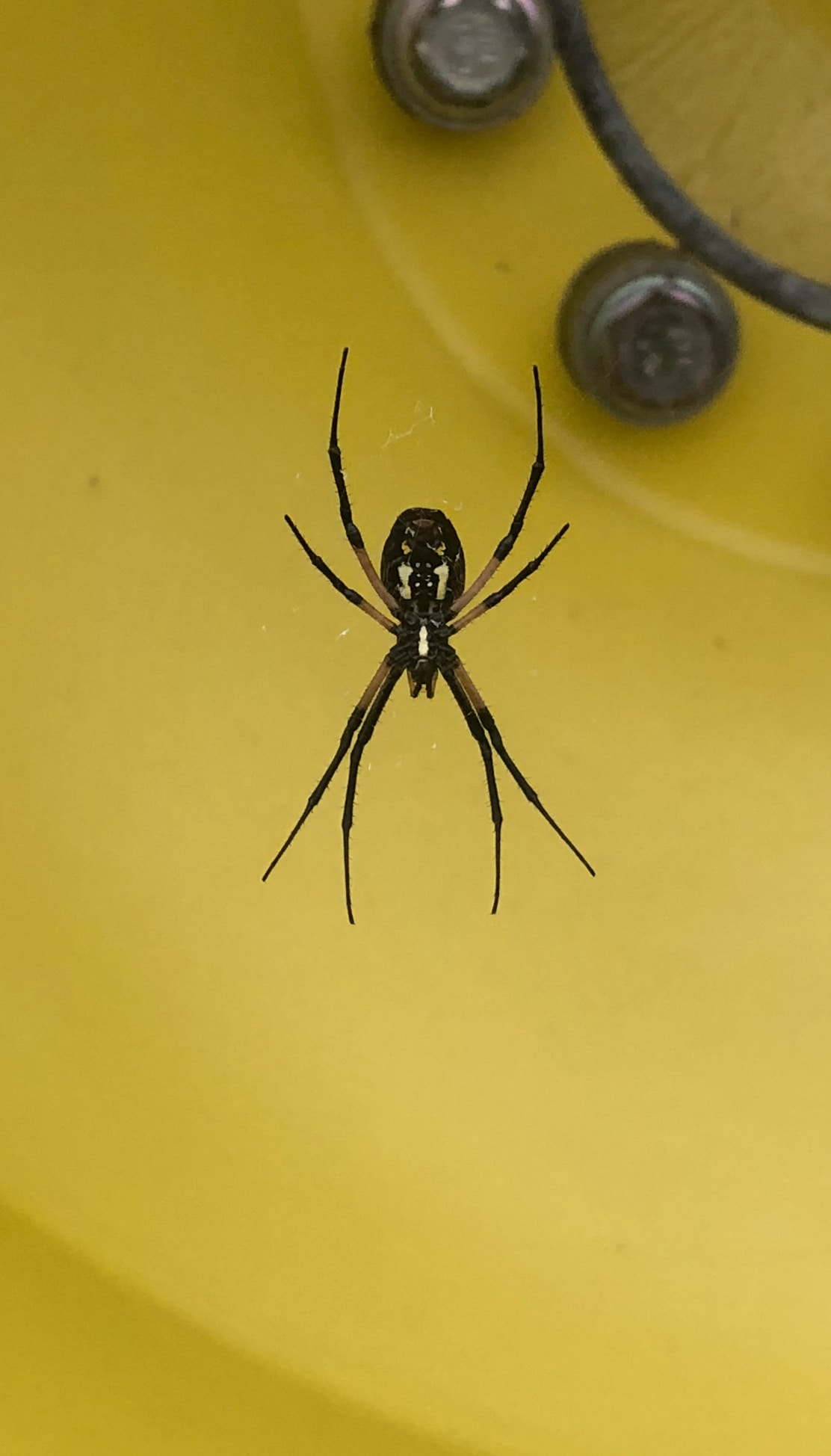 Picture of Argiope aurantia (Black and Yellow Garden Spider) - Ventral