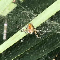 Featured spider picture of Cyrtophora moluccensis (Dome Tent Spider)