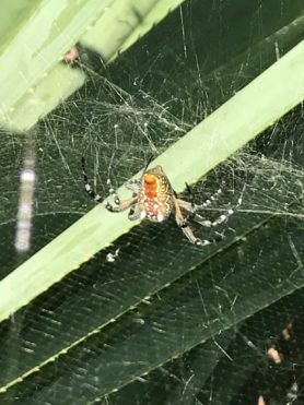 Picture of Cyrtophora moluccensis (Dome Tent Spider) - Dorsal,Webs