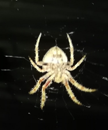 Picture of Araneidae (Orb-weavers) - Ventral,Webs