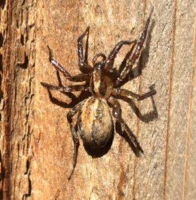 Picture of Agelenidae (Funnel Weavers) - Female - Dorsal