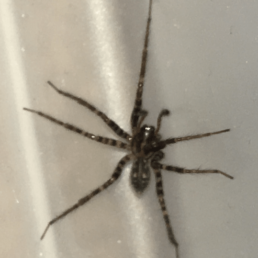 Featured spider picture of Tegenaria pagana