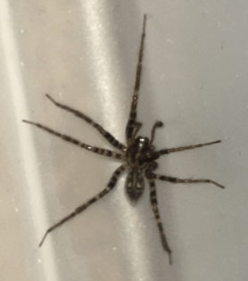 Picture of Tegenaria pagana - Male - Dorsal