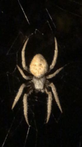 Picture of Eriophora ravilla (Tropical Orb-weaver) - Dorsal,Webs
