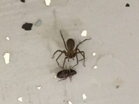 Picture of Loxosceles reclusa (Brown Recluse) - Dorsal,Prey