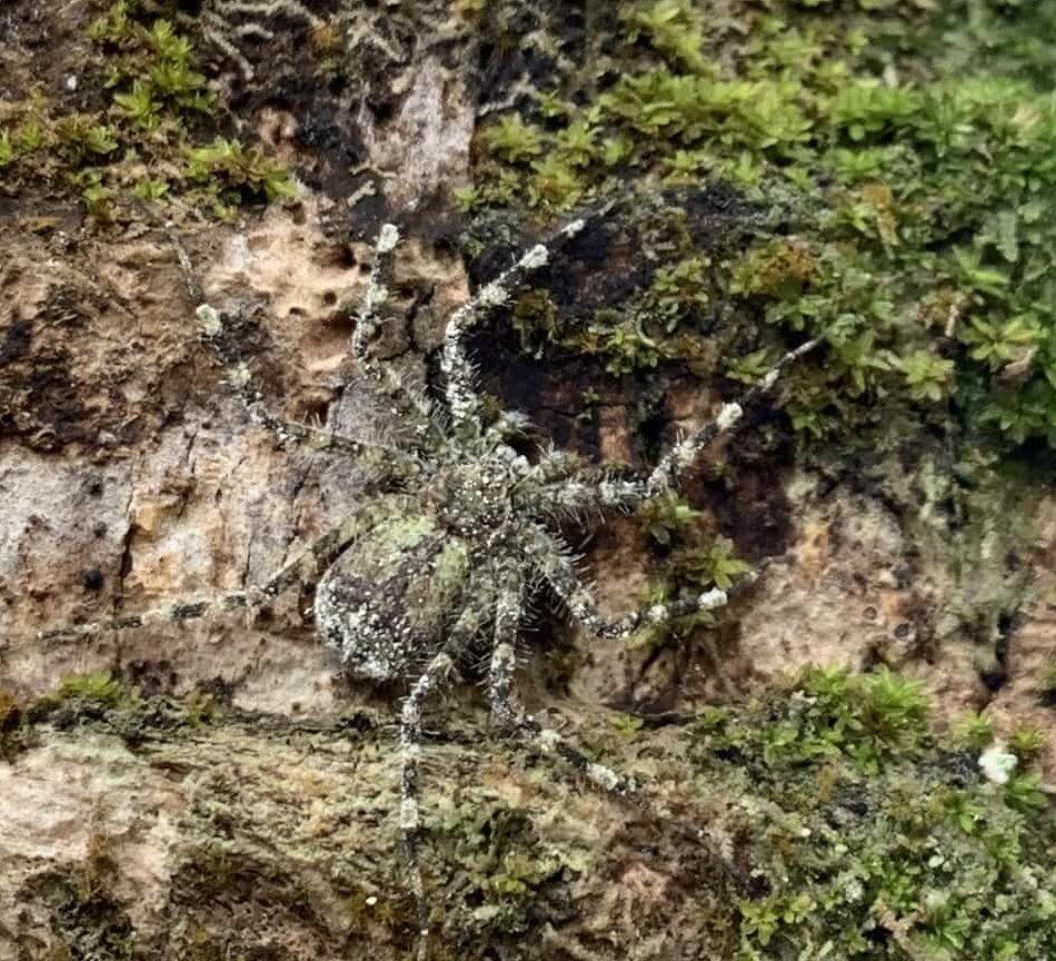 Picture of Selenops (Flatties) - Dorsal