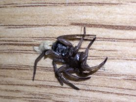 Picture of Gnaphosidae (Stealthy Ground Spiders) - Lateral