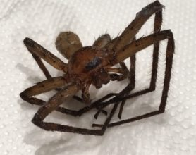 Picture of Heteropoda spp. - Male - Dorsal,Eyes