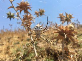 Picture of Argiope lobata (Lobed Argiope) - Female - Dorsal,Webs