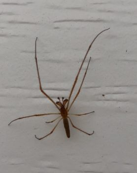 Picture of Tetragnatha spp. - Male - Dorsal