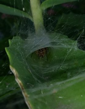 Picture of Agelenopsis spp. (Grass Spiders) - Webs,In Retreat
