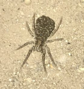 Picture of Hogna frondicola - Female - Dorsal,Spiderlings