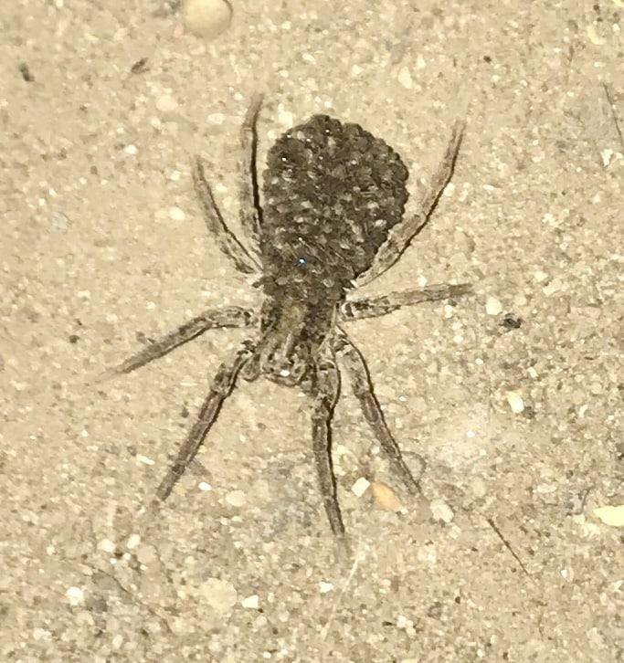 Picture of Hogna frondicola - Female - Dorsal,Spiderlings
