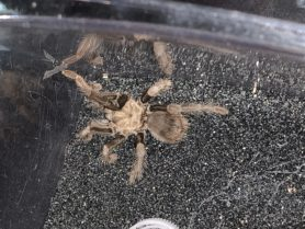 Picture of Theraphosa spp. - Dorsal