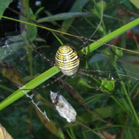 Picture of Argiope trifasciata (Banded Garden Spider) - Female - Dorsal,Webs,Prey