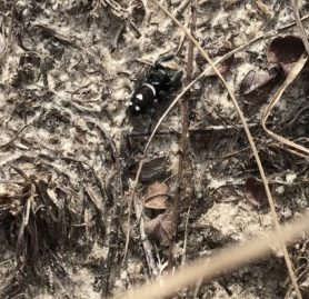 Picture of Phidippus spp. - Male - Dorsal