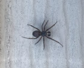 Picture of Steatoda borealis - Male
