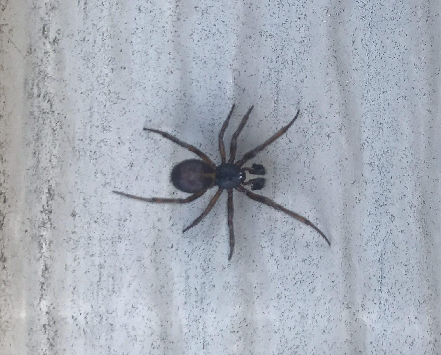 Picture of Steatoda borealis - Male