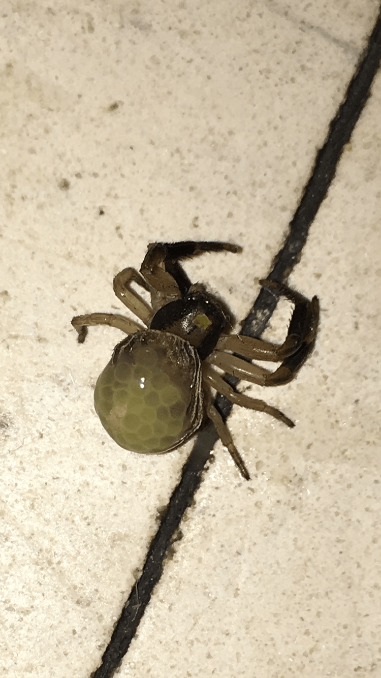 Picture of Xysticus (Ground Crab Spiders) - Female - Gravid