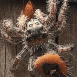 Featured spider picture of Phidippus princeps pulcherrimus