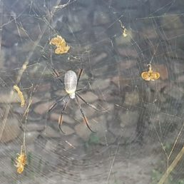 Featured spider picture of Nephila fenestrata (Hairy Golden Orb Weaver)