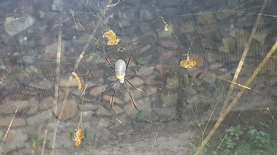 Picture of Trichonephila fenestrata (Hairy Golden Orb-weaver) - Female - Dorsal,Webs