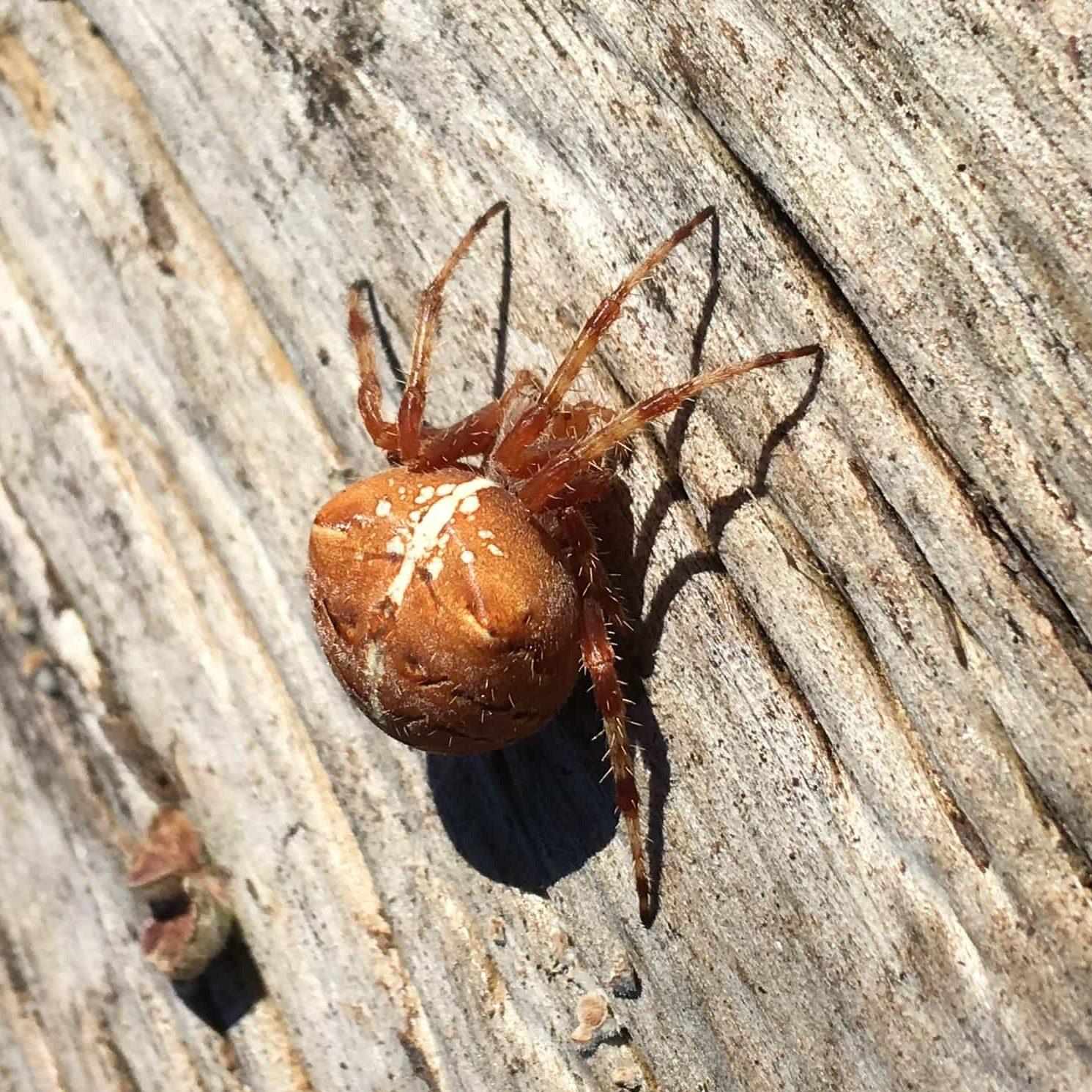 Picture of Araneus gemma - Dorsal