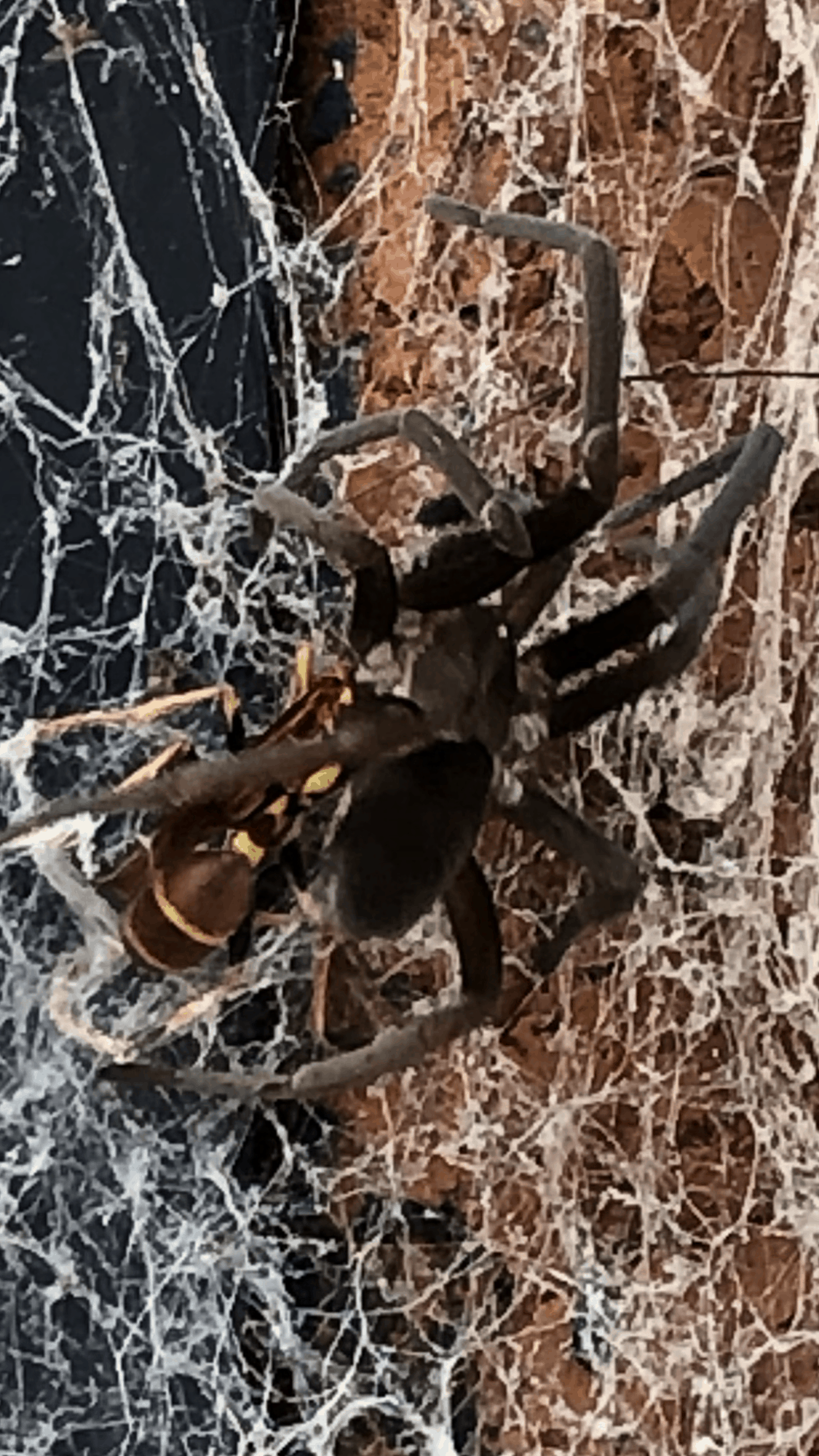 Picture of Kukulcania hibernalis (Southern House Spider) - Dorsal,Webs