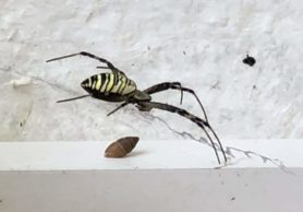 Picture of Argiope bruennichi (Wasp Spider) - Lateral