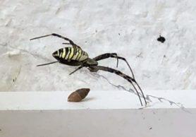 Picture of Argiope bruennichi (Wasp Spider) - Lateral