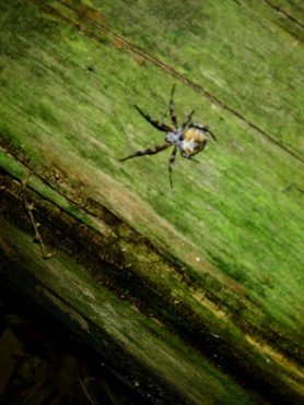 Picture of Metepeira labyrinthea (Labyrinth Orb-weaver) - Dorsal