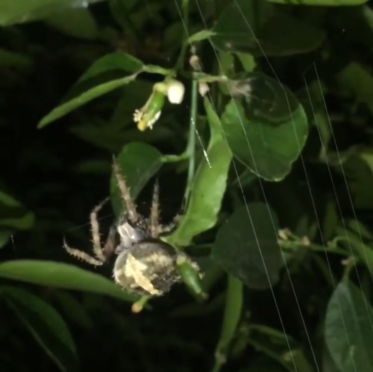 Picture of Neoscona (Spotted Orb-weavers) - Dorsal,Webs