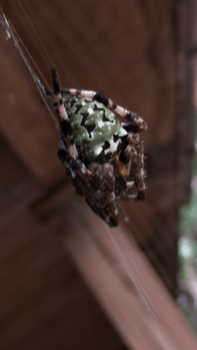 Picture of Araneus bicentenarius (Giant Lichen Orb-weaver) - Dorsal