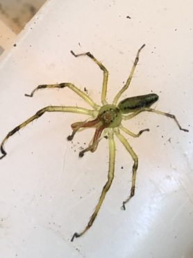 Picture of Lyssomanes viridis (Magnolia Green Jumper) - Male - Dorsal