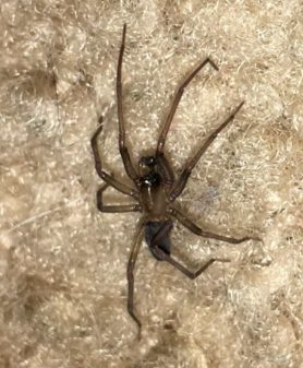 Picture of Metaltella simoni (Hacklemesh Weaver) - Male - Lateral