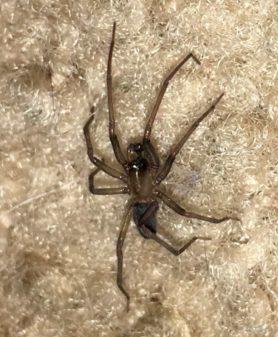 Picture of Metaltella simoni (Hacklemesh Weaver) - Male - Lateral