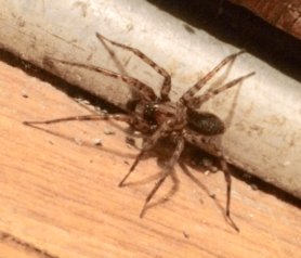 Picture of Coras spp. (Funnel Web Spiders) - Male - Lateral