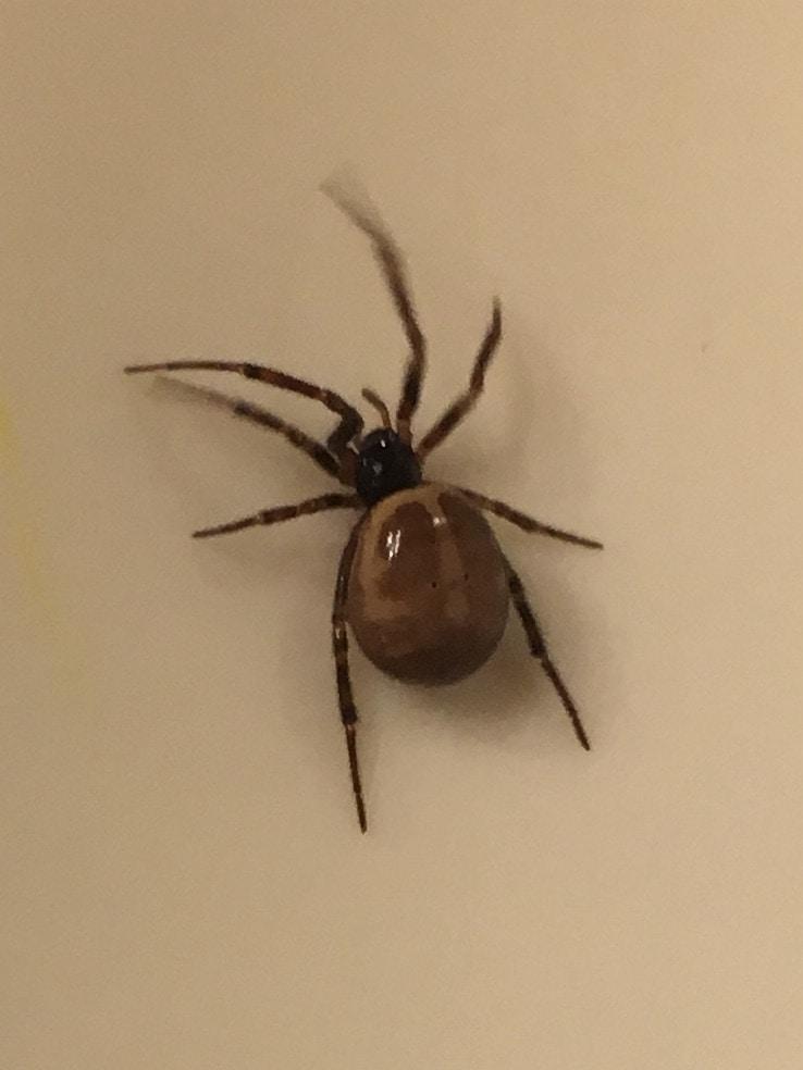 Picture of Steatoda borealis - Female - Dorsal
