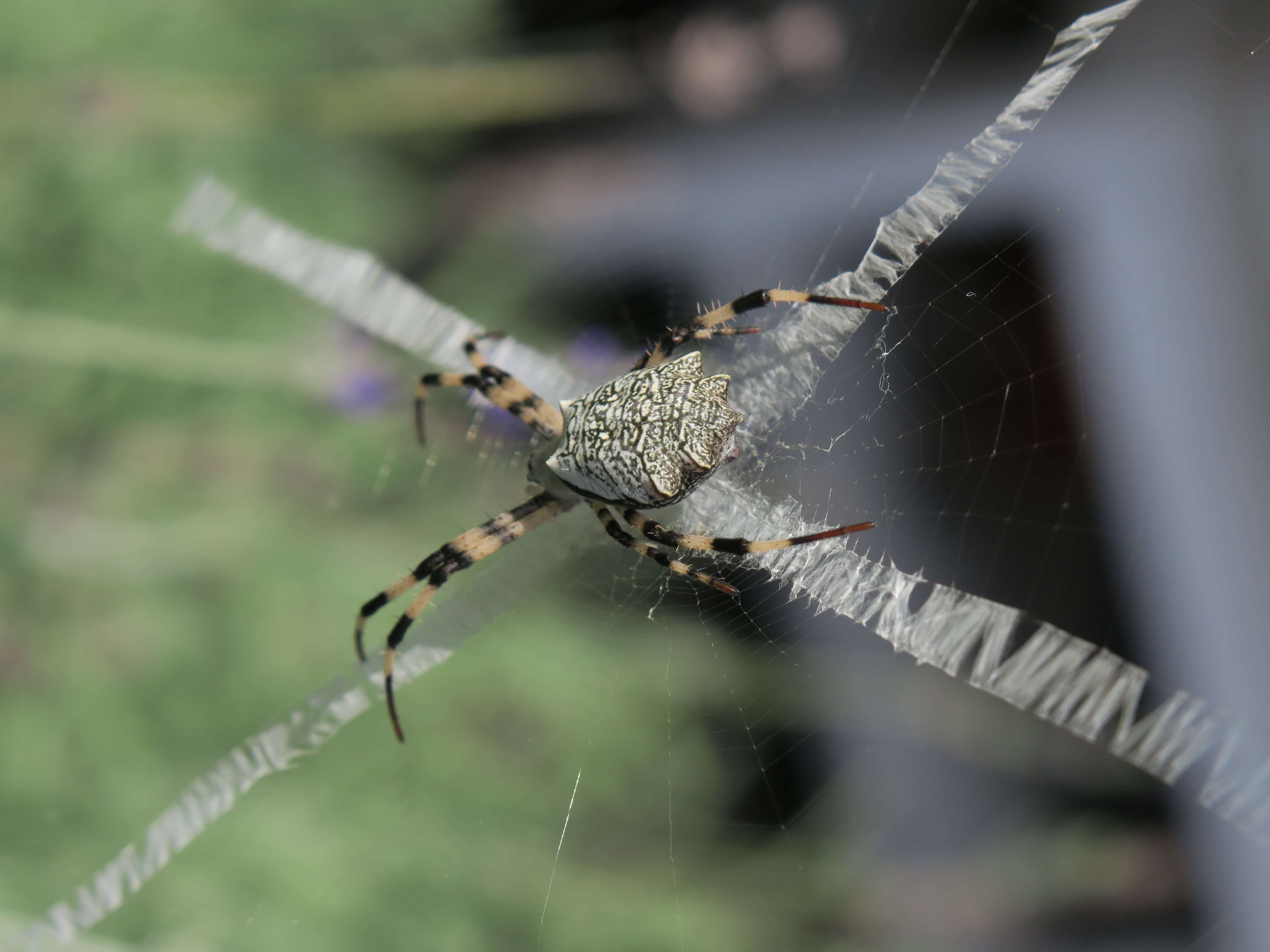 Picture of Argiope flavipalpis - Dorsal,Webs