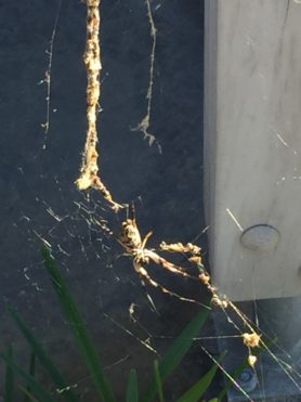 Picture of Nephila spp. (Golden Silk Orb-weavers) - Ventral,Webs