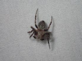 Picture of Eustala spp. - Male - Dorsal