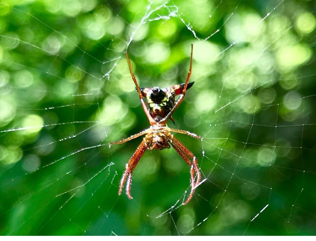 Picture of Micrathena sagittata (Arrow-shaped Micrathena) - Female - Ventral,Webs