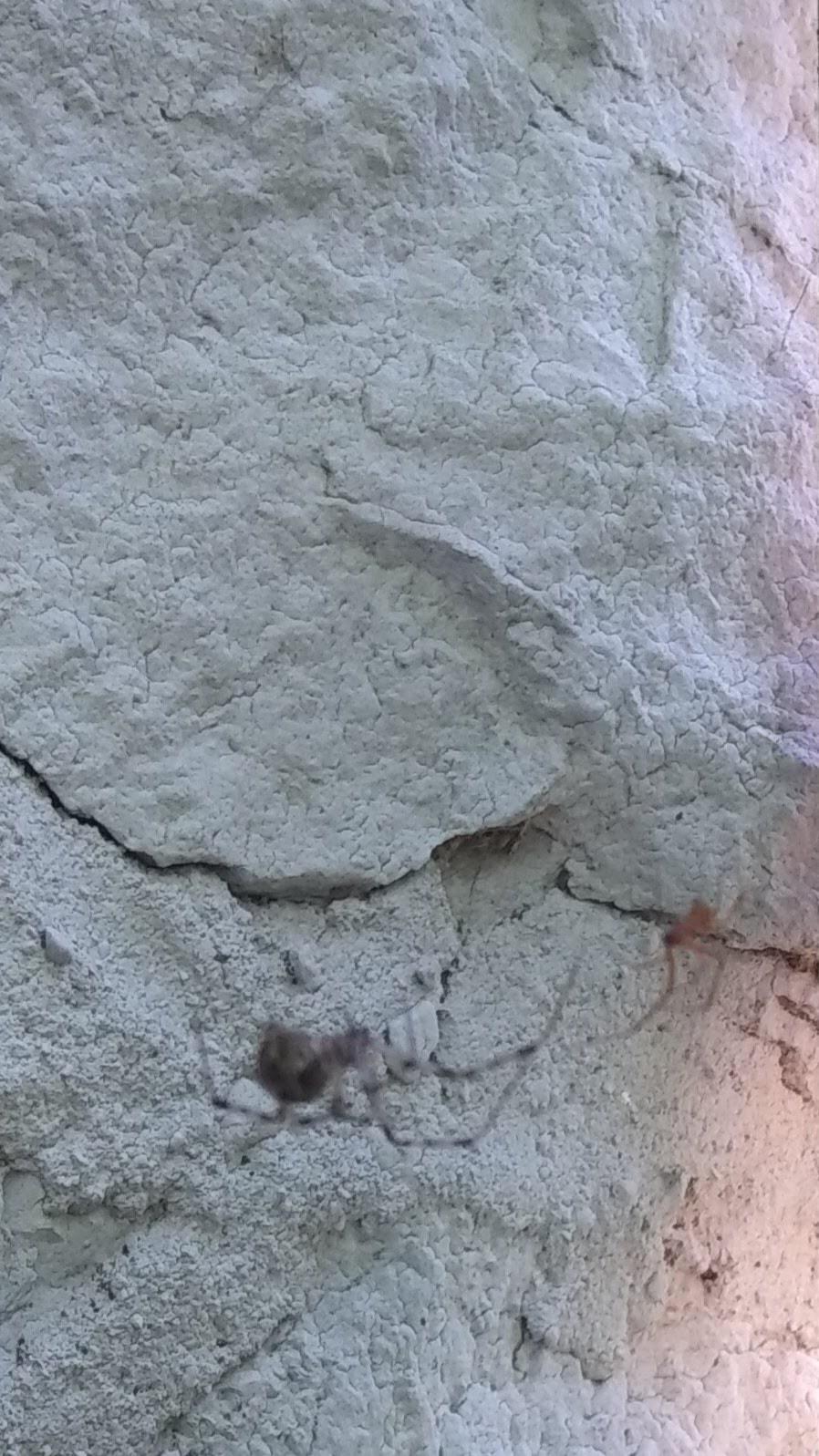 Picture of Parasteatoda tepidariorum (Common House Spider)