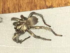 Picture of Calisoga spp. (False Tarantulas) - Dorsal