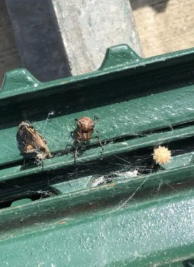 Picture of Latrodectus geometricus (Brown Widow Spider) - Female - Dorsal,Egg sacs,Prey