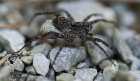 Picture of Pardosa spp. (Thin-legged Wolf Spiders) - Female - Egg sacs,Lateral